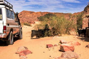 expeditionary SUV rides near grazing wild sheep in the desert