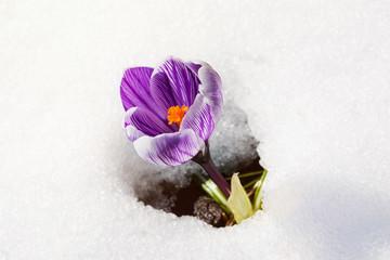 offene krokusblüte im schnee bei sonnenschein