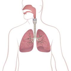 human lungs, trachea and nasopharynx