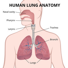 human lungs, trachea and nasopharynx