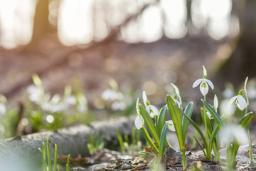 Sunrise sunset light on the white tender snowdrops in the spring forest