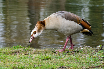 Egyptian Goose standing by the Little Ouse River, Thetford, UK