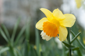 closeup of yellow daffodils in a public garden