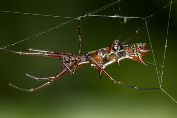Elongated spider with horns in abdomen on the web, Micrathena gracilis spider