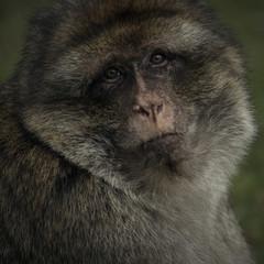Barbary Macaque Monkey Wildlife portrait