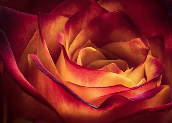 Extreme close-up of an orange and red vibrant Rose flower