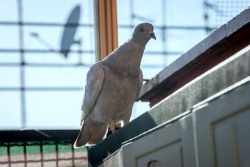 Ritratto di un piccione selvatico