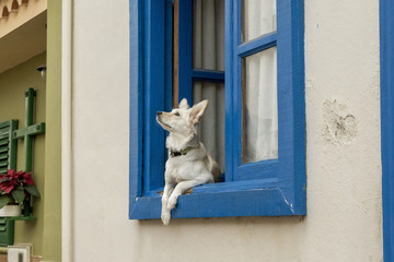 Domestic dog looking through the window, in an small house from Canary Islands