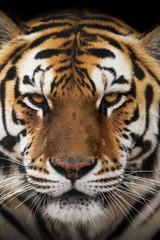 Close up of a Siberian tiger (Panthera tigris altaica).