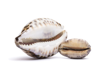 two seashells on a white background