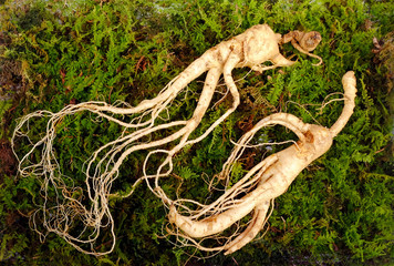 Foto auf Acrylglas Aromastoffe Wild Korean ginseng root. Wild ginseng can be processed to be red or white ginseng. Ginseng has been used in traditional medicine.