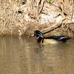 A spectacular male Wood Duck in breeding plumage in early spring