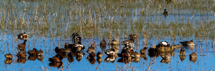Assorted ducks rest in the marsh at Bosque del Apache National Wildlife Refuge in New Mexico