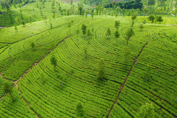 Tea plantations in the mountains. Aerial View