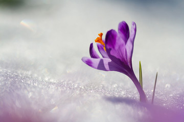 View of magic blooming spring flowers crocus growing from snow in wildlife. Amazing sunlight on spring flower crocus