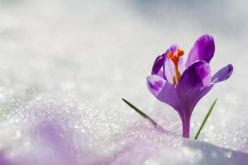 View of magic blooming spring flowers crocus growing from snow in wildlife. Amazing sunlight on spring flower crocus