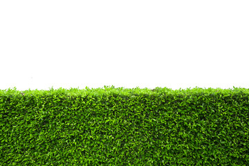 Isolated green hedge bush on white background