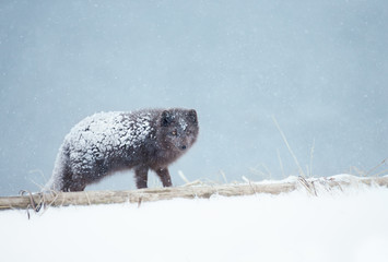 Close up of an Arctic fox standing in the snow
