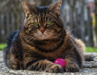 Plump tabby cat with rabbit teeth holding a pink Easter egg between her paws