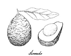 Hand Drawn of Green Avocados on White Background