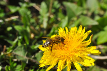 Honey bee on dandelion. Honey bee pollinating on spring meadow