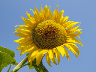 Sunflowers background for designers, sunflower with pollen and bright yellow leaves