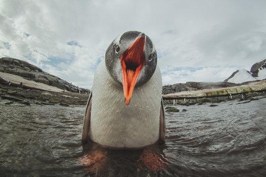 cute gentoo penguin in Antarctica, adorable baby animal, sea bird singing