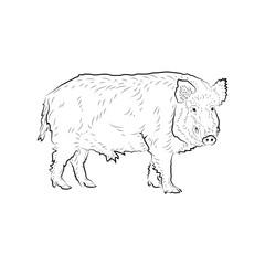 Sketch of looking boar.