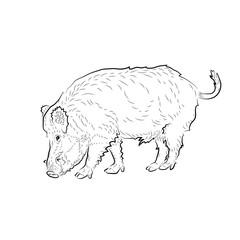 Sketch of eating boar.