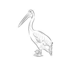 Sketch of pelican. Handmade.