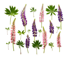 Wild flowers pink and violet lupin (Lupinus albus) on a white background. Top view, flat lay