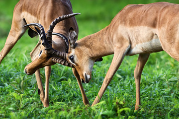 Wall Mural - Two male impalas in a territorial fight to establish dominance during the rutting season in summer.