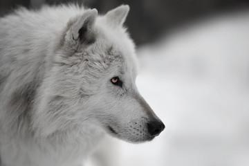Photo sur Toile Loup Weisser Wolf Weißer Wolf