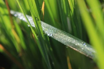 Close up of Dew at rice field at curug cilember, salak mountain, west java indonesia, natural tone