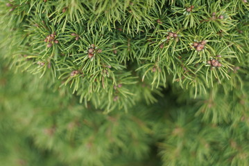 closeup yew tree in spring