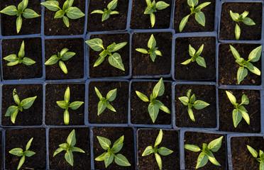 Paprika seedling top view