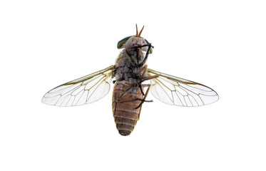 Horse or March Fly - Bottom