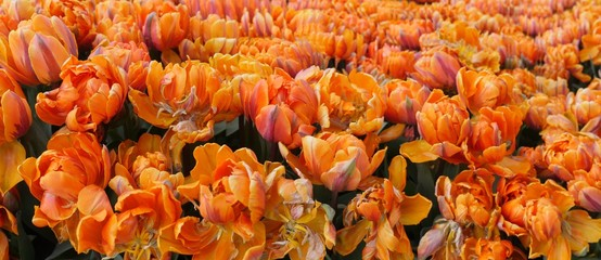 open blossomTulips flowers photographed from above as panorama picture in orange purple color