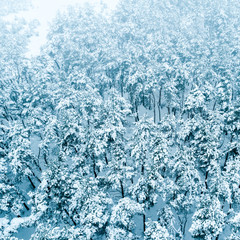 Pine forest in the snow, winter landscape, aerial view
