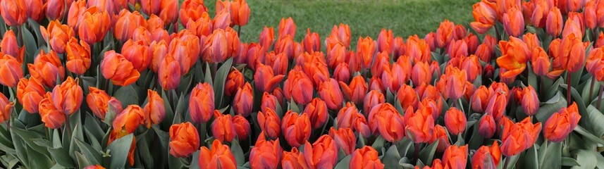 Panoramic picture with red tulips with closed flowers in a semicircle