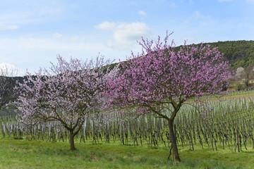 Frühling, blühende Obstbäume