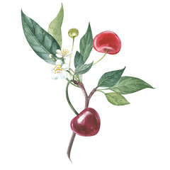 Collection of highly detailed hand drawn cherry. Watercolor botanical illustration isolated on white background.