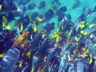Colorful blue and yellow school of Surgeonfish swimming through the clear waters of Galapagos