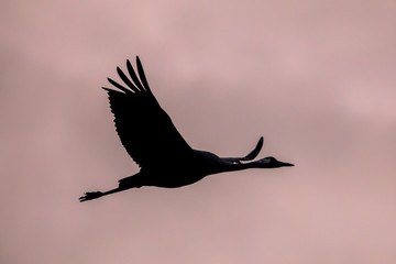 One Migrating Eurasian Crane against pink sky