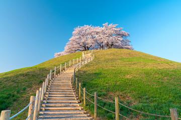 【埼玉】さきたま古墳の桜