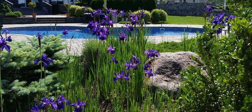 Gorgeous Deep Purple Japanese Irises with a Luxurious Swimming Pool Backdrop