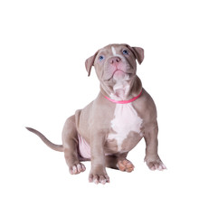 Pit Bull puppy looks up. Isolated on white background