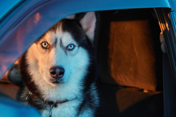 Beautiful Siberian husky sitting in car and looking at camera. Noble dog with blue eyes sitting in the driver's seat of the car.