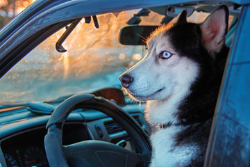Beautiful Siberian husky sitting in car and looks outside. Noble dog with blue eyes sitting in the driver's seat of the car.