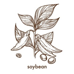 Soybean garains on plant with leaves monochrome sketch